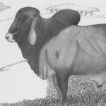 Vache Brahman - Valparaiso Antioquia Colombie, 2010