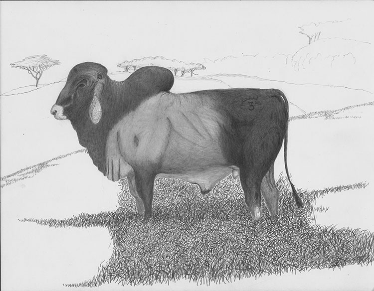 Vaca Brahman